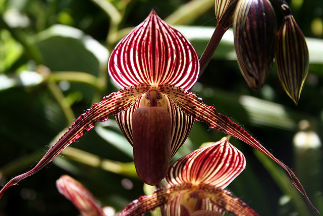 Gold-of-Kinabalu-Orchid