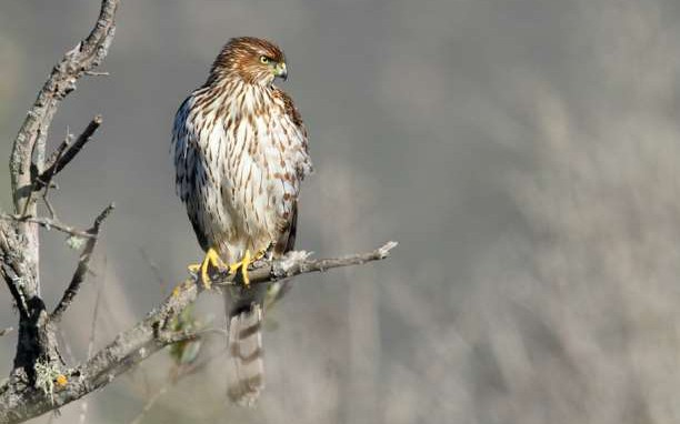 Juvenile_Coopers_hawk_Accipiter_cooperii_in_tree-612x382