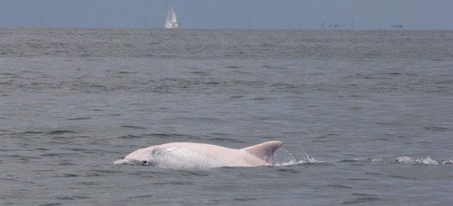 delfini-albus-660