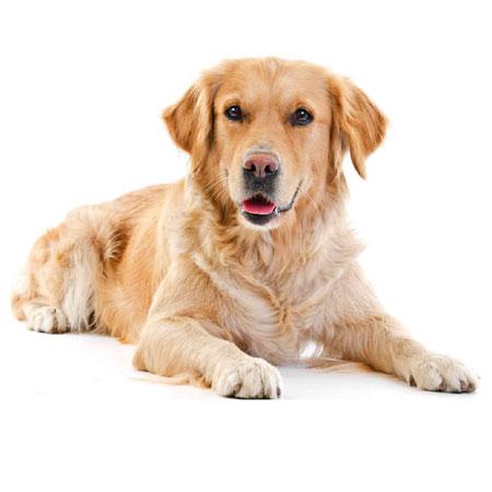 dog_retriever_01
