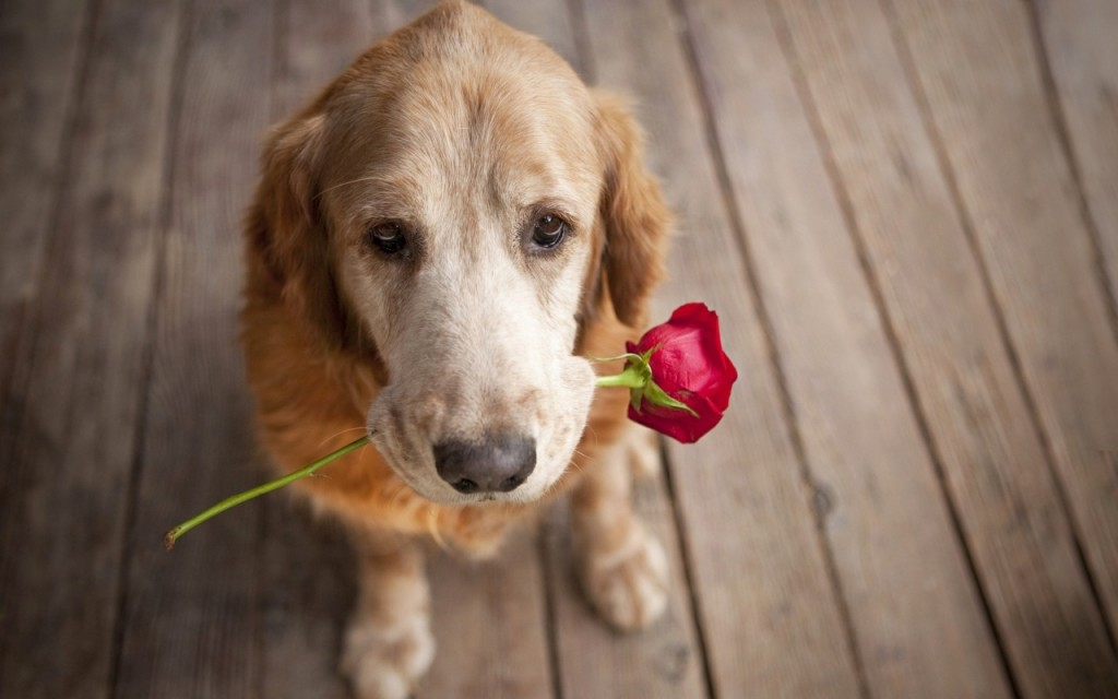 dog-carrying-a-rose-love-puppy-pet-wide-1280x800