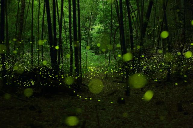 fireflies3